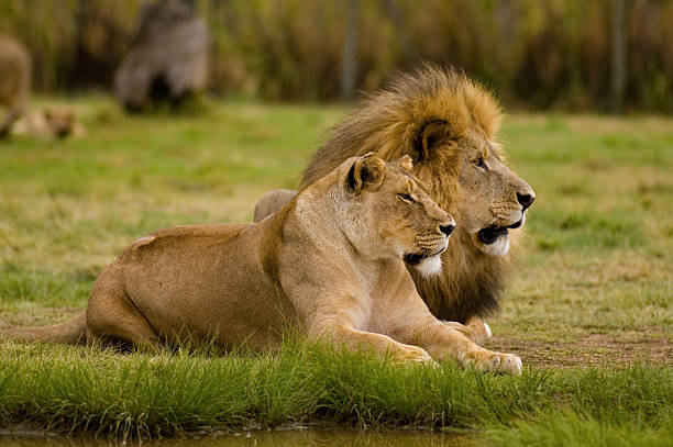 lioness and lion - lioness stock photos and pictures