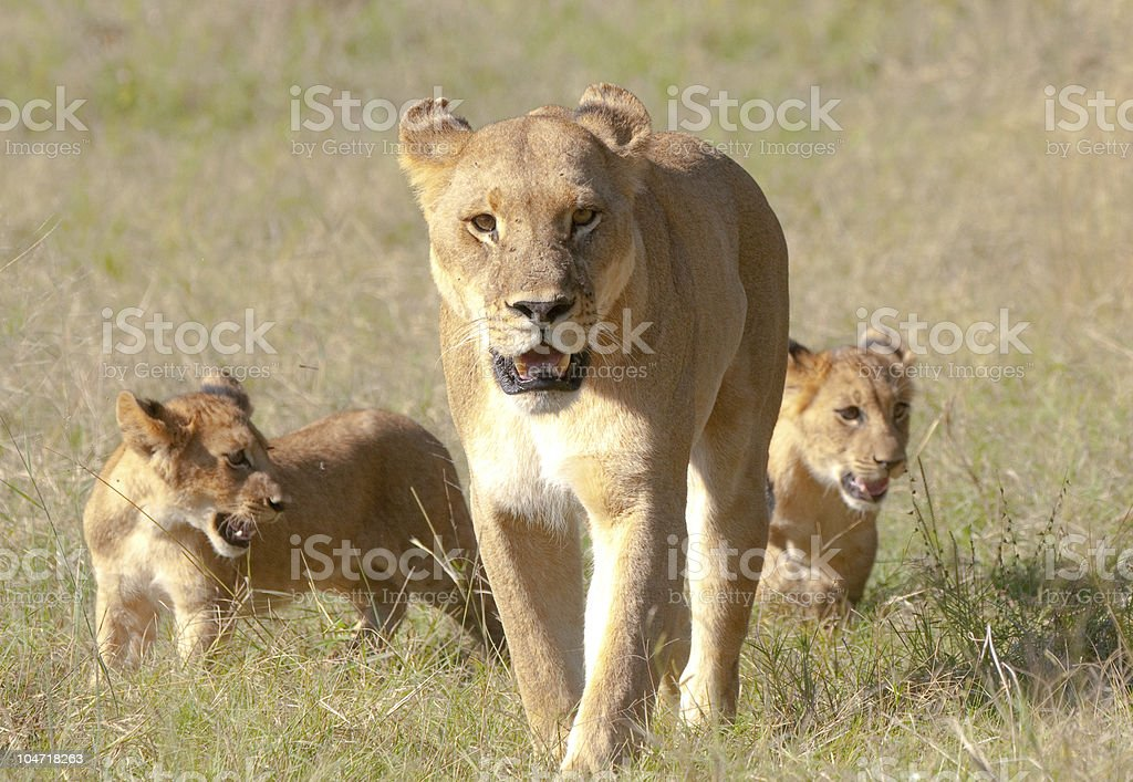 Lioness and two cubs stock photo