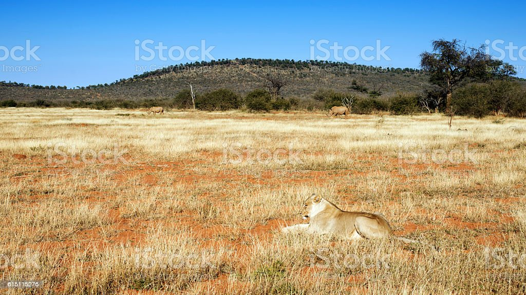 Lioness and two white rhino, Madikwe Game Reserve,South Africa stock photo