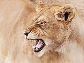 Mighty lioness roaring from anger