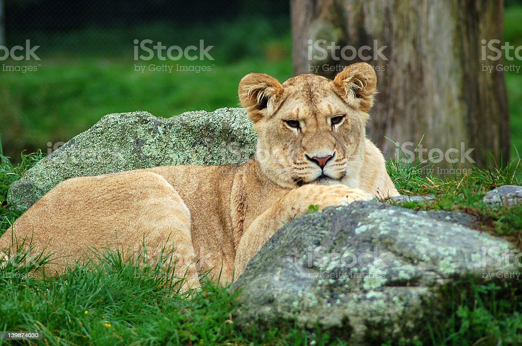 Lioness at rest 5252 royalty-free stock photo