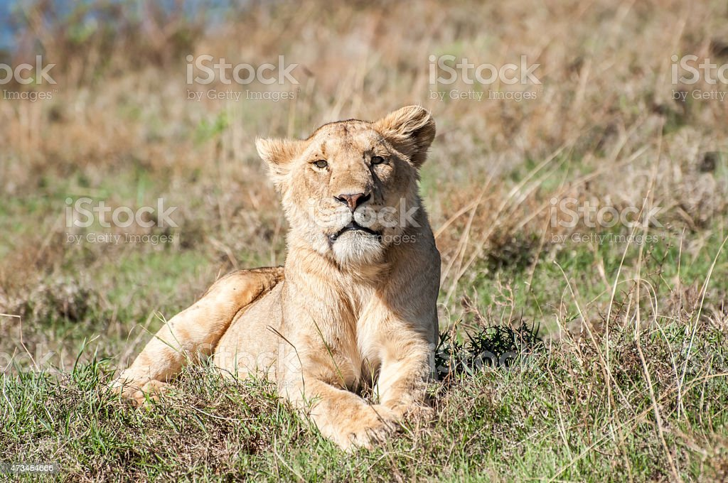 Lioness at rest stock photo