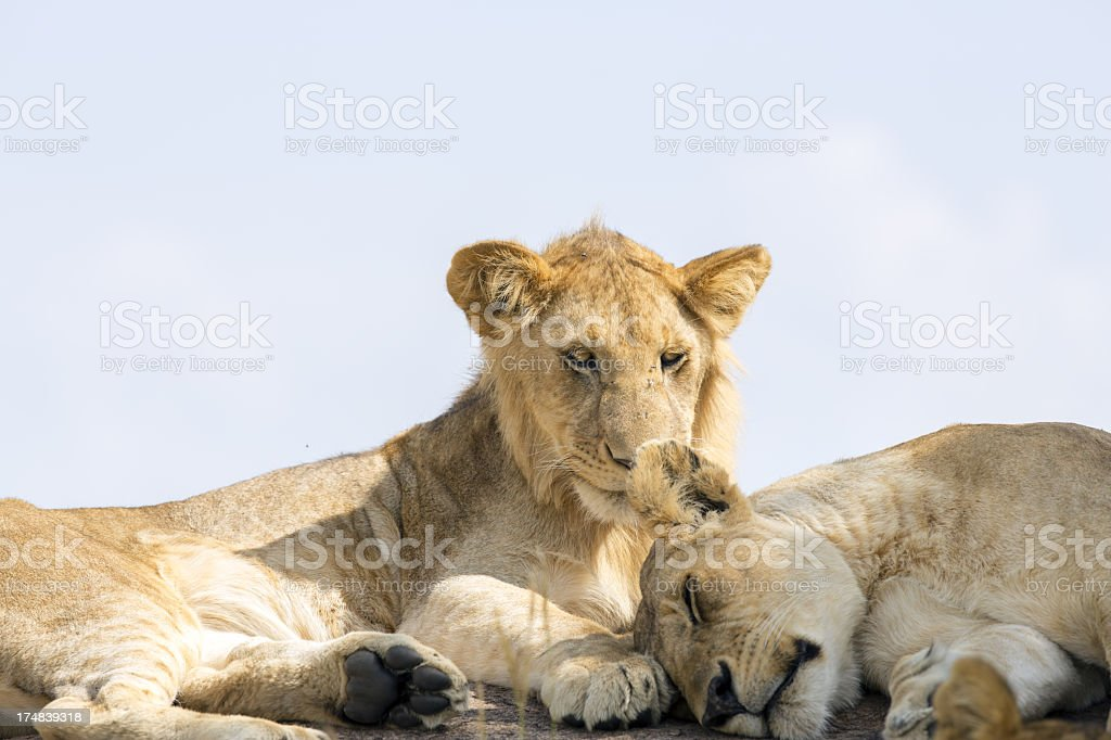 Lioness at wild royalty-free stock photo