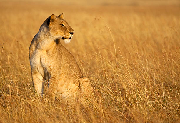 Lioness blends into the grass stock photo
