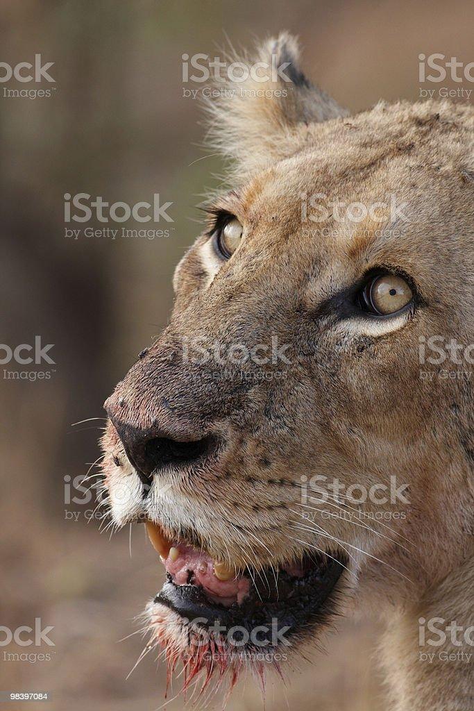 Lioness bloody royalty-free stock photo