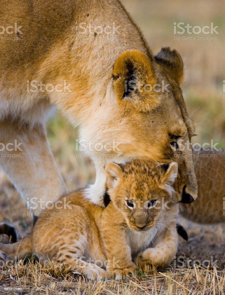 Lioness carries her baby. royalty-free stock photo