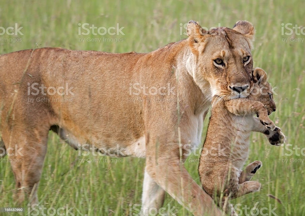 Lioness carrying cub stock photo