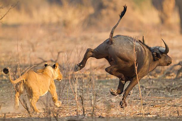 Leona (Panthera leo) chases después de un búfalo africano (Syncerus caffer) - foto de stock