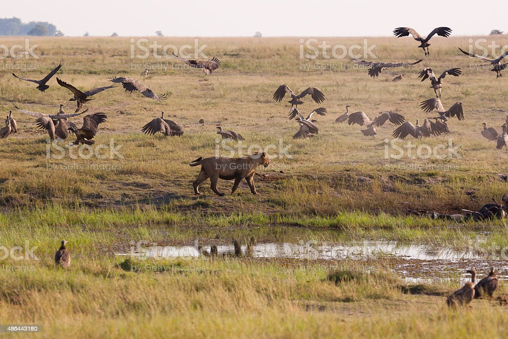Lioness Chasing Away Vultures stock photo