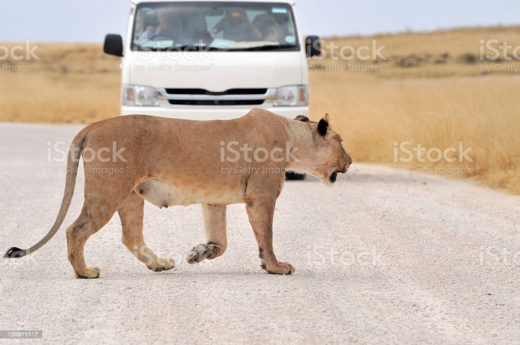 Lioness crossing the road,Etosha National Park,Namibia. royalty-free stock photo