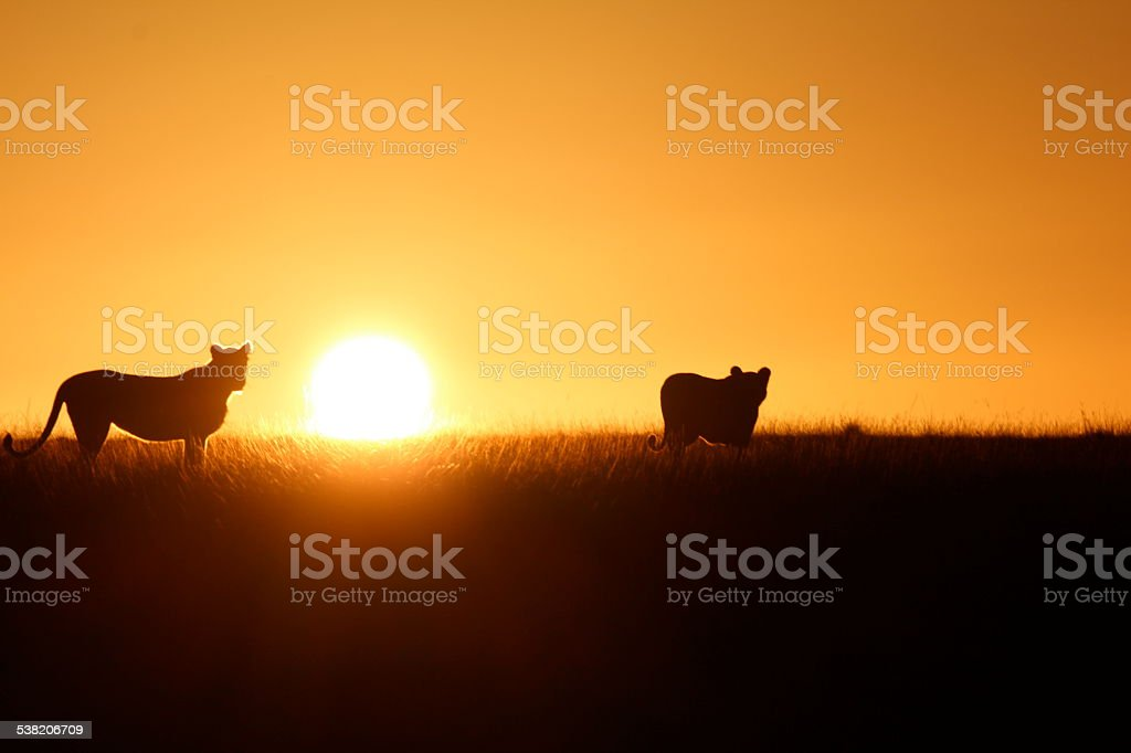 Lioness & Cub in South Africa stock photo