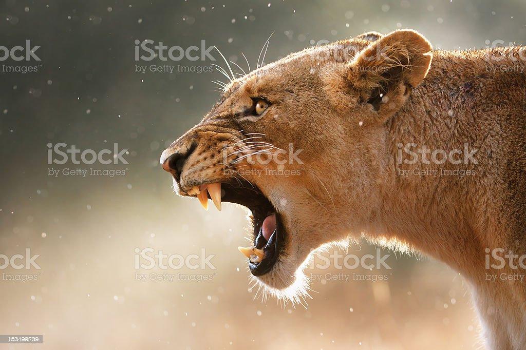Lioness displaing dangerous teeth Lioness displays dangerous teeth during light rainstorm  - Kruger National Park - South Africa Africa Stock Photo