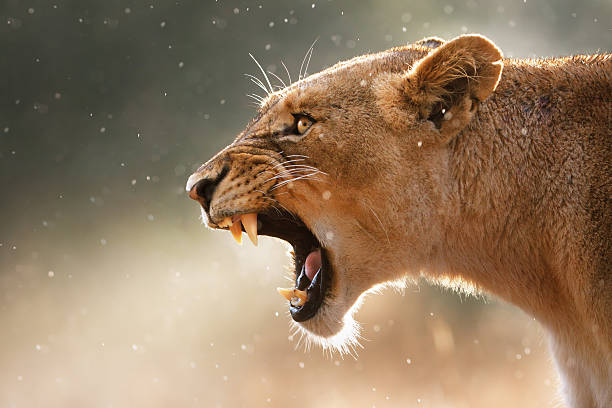 Lioness displaing dangerous teeth Lioness displays dangerous teeth during light rainstorm  - Kruger National Park - South Africa animal mouth stock pictures, royalty-free photos & images
