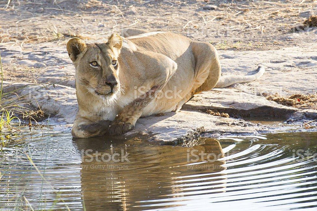 Lioness drinking (Panthera leo), Botswana royalty-free stock photo