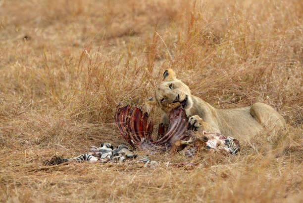 Lioness eating a zebra, Masai Mara stock photo