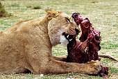 lioness eating