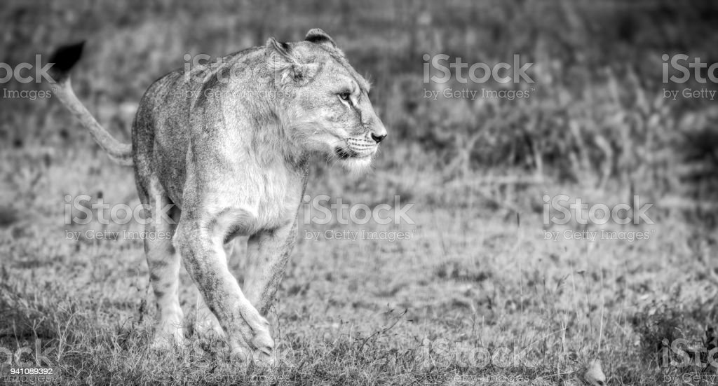 Lioness Female Profile View Lioness In The Savanna Stock Photo