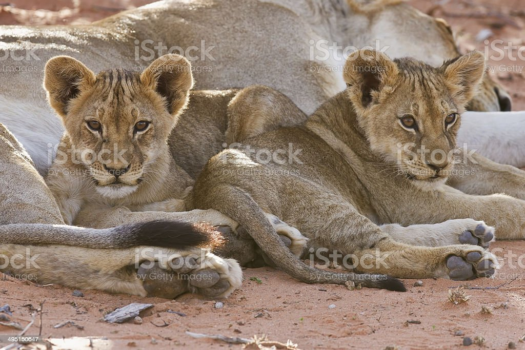 Lioness female with cubs stock photo