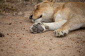A resting lioness showing off the underneath of her feet. The pads are soft and three lobed with four toes.