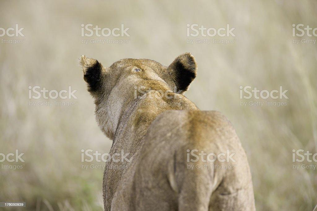 Löwin hinter – Foto