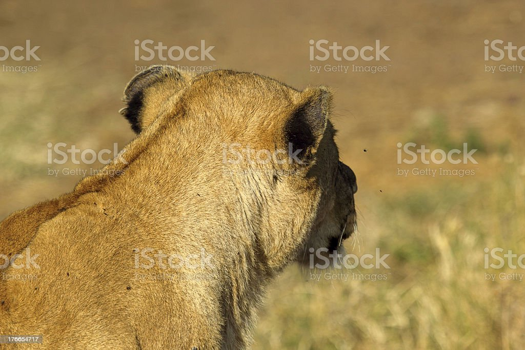 Lioness from behind royalty-free stock photo