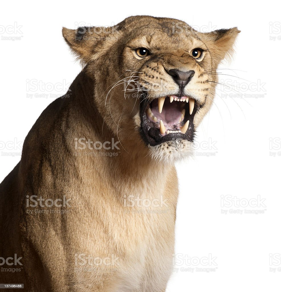 A lioness growling on a white background royalty-free stock photo