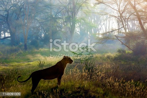 Lioness Hunting at Nakuru National Park, Early in the morning