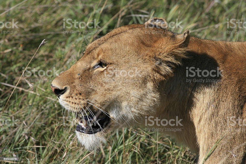 Lioness hunting in serengeti royalty free stockfoto