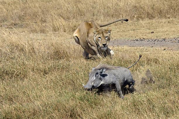 León de caza - foto de stock