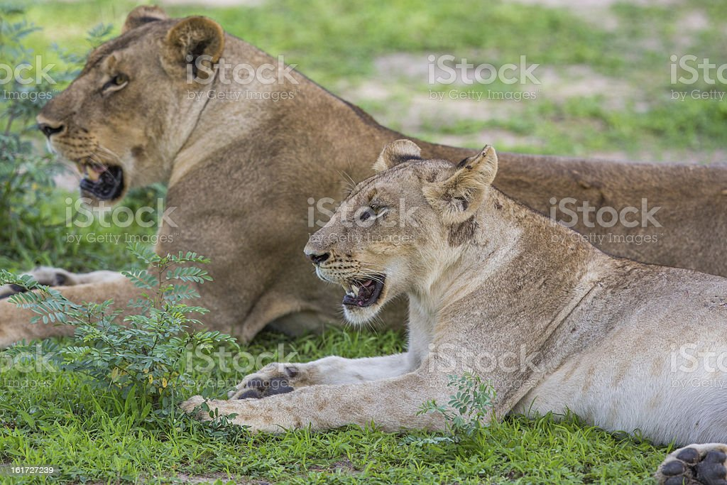 Lioness in a pride royalty-free stock photo