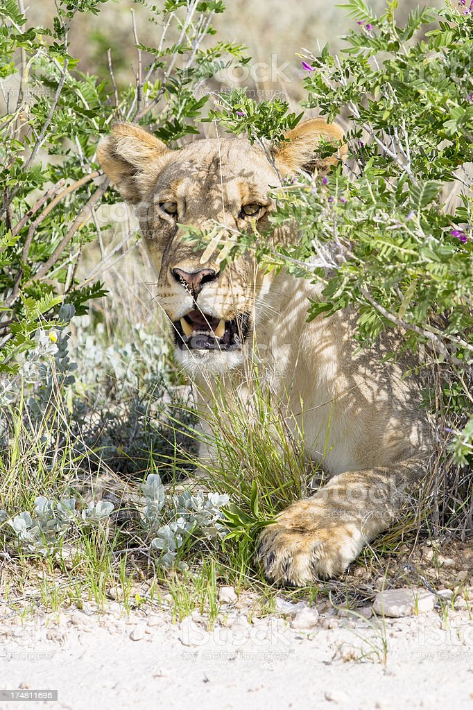 Lioness in bush royalty-free stock photo