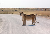 The lioness is on the prowl late on in the day as is evidenced by her long shadow. Very little in the way of water and vegetation as the land is incrediibly dry and barren.
