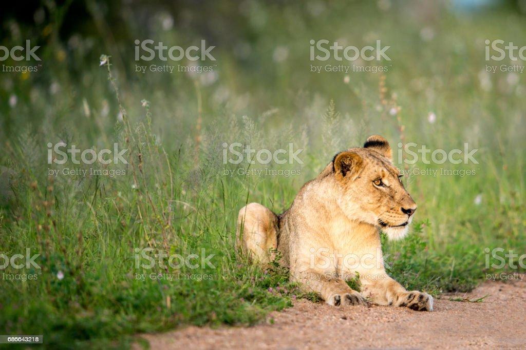 Lioness in Flowers Стоковые фото Стоковая фотография