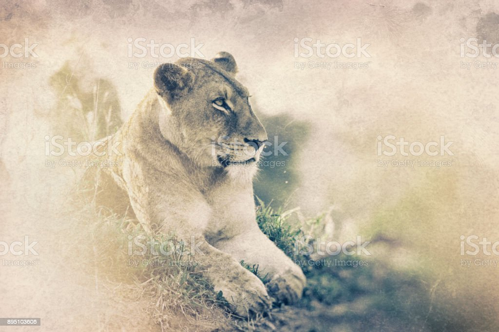 Lioness in Kruger Wildlife Reserve, South Africa stock photo