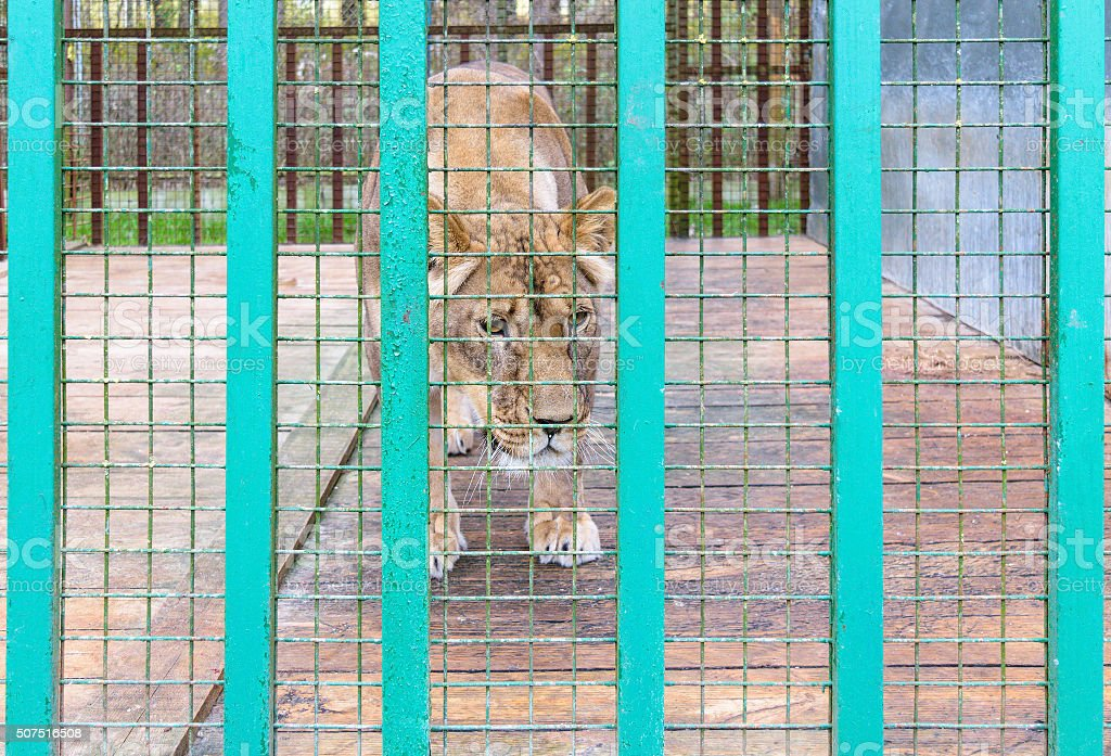 Lioness in the cage stock photo