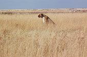 Lioness Portrait in Etosha NP - Namibia