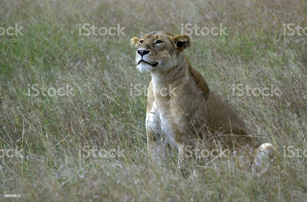 Lioness in the Masai Mara royalty-free stock photo