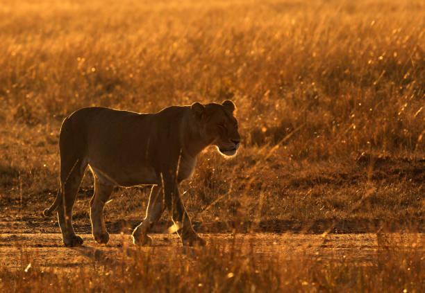 Lioness in the morning golden light, Masai Mara stock photo