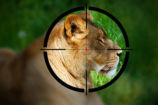 Lioness in the Rifle Sight Big game hunting - Lioness in the rifle sight poaching animal welfare stock pictures, royalty-free photos & images