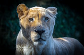 A lioness in the savannah, in the Serengeti reserve, portrait