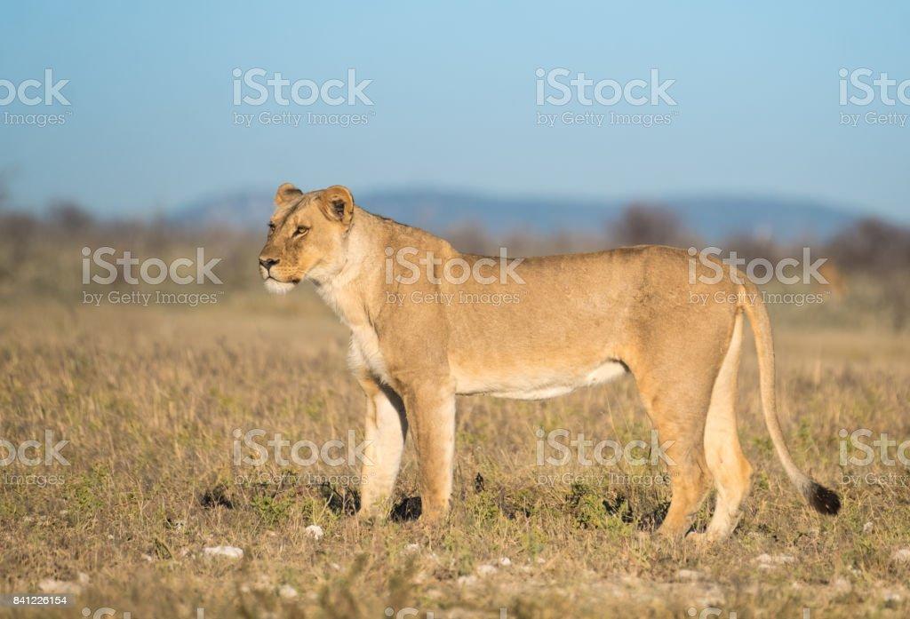 Lioness joining a lion at the Nebrownii waterhole, Okaukuejo,, Etosha National Park, Namibia stock photo