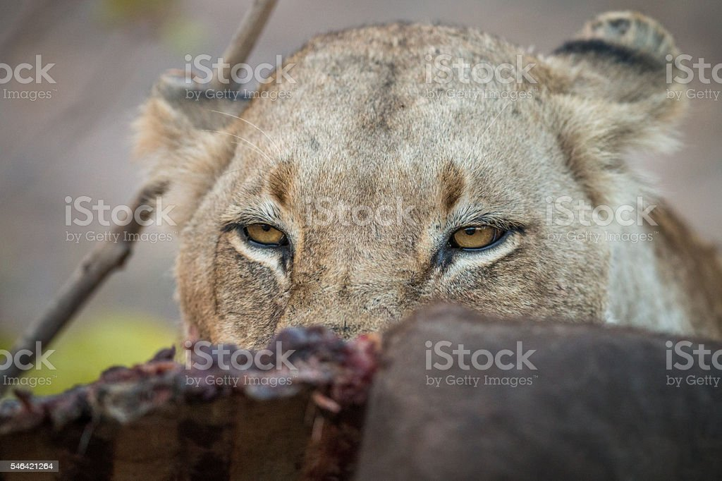 Lioness looking over a Buffalo carcass in the Sabi Sabi. stock photo