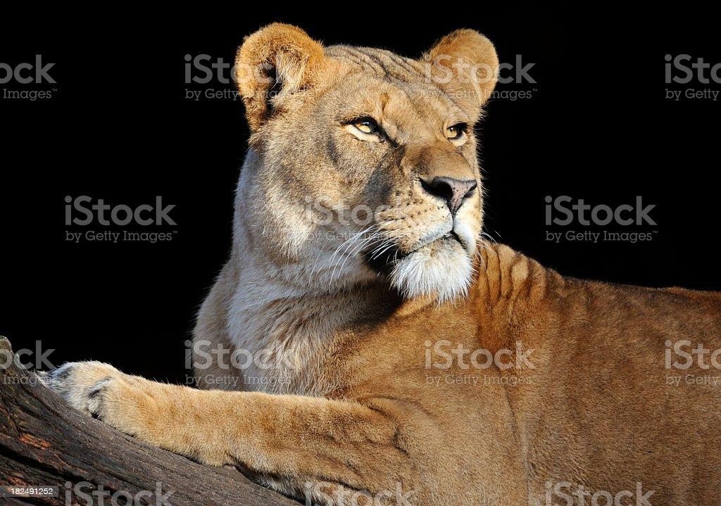 Lioness looking to the right on a log in a black background stock photo