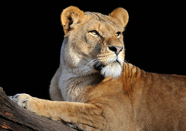 lioness looking to the right on a log in a black background - lioness stock photos and pictures
