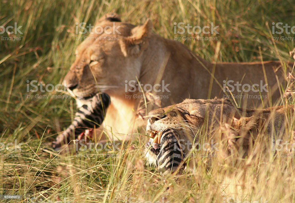 Lioness Lunch 03 royalty-free stock photo