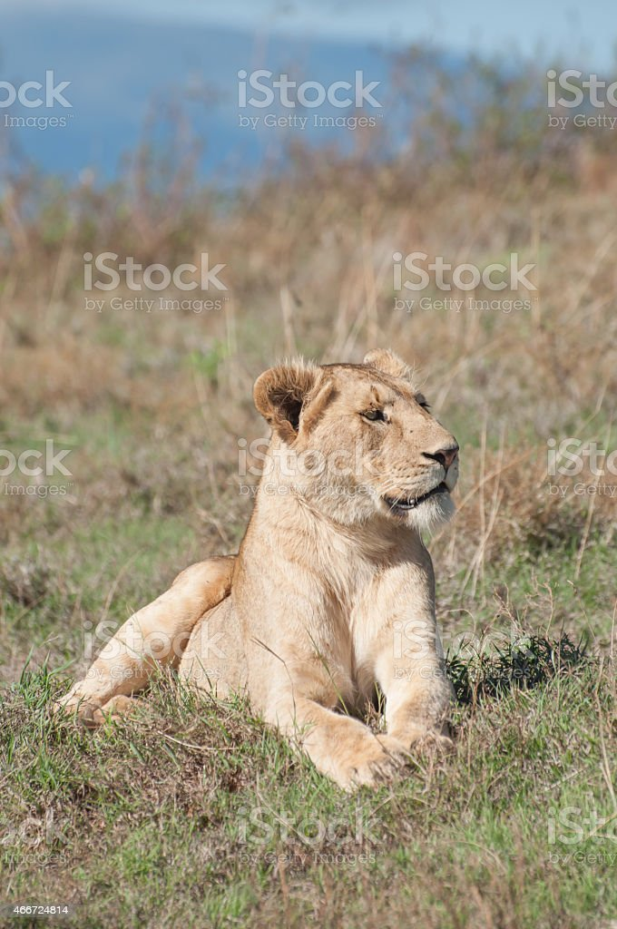 Lioness Lying Down stock photo