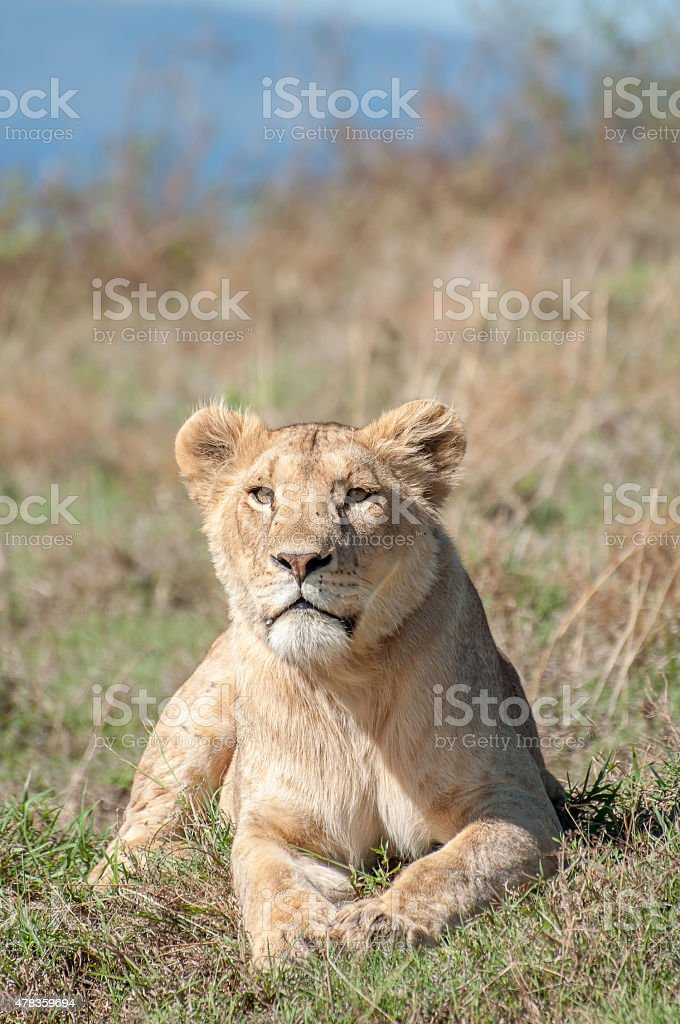 Lioness lying down while looking straight ahead at camera stock photo