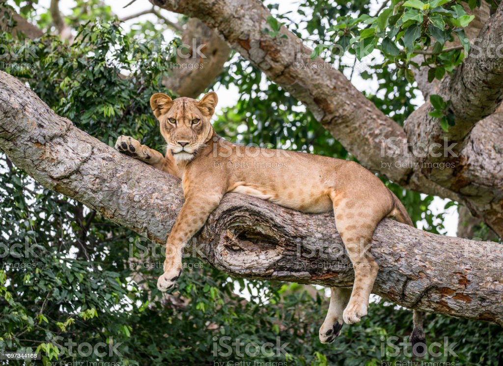 Lioness lying on a big tree. Close-up. Uganda. East Africa. stock photo