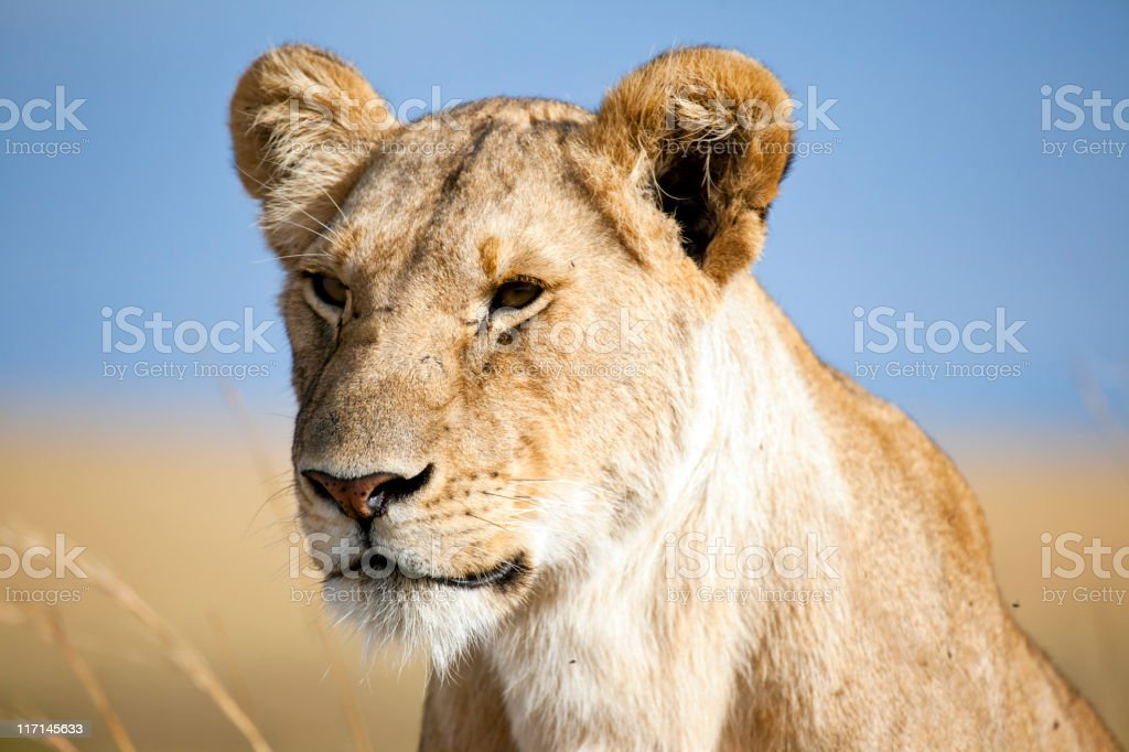 Lioness, Masai Mara, Kenya royalty-free stock photo