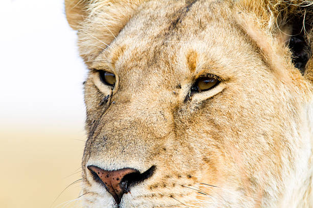 Lioness, Masai Mara, Kenya stock photo
